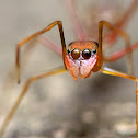 Red Ant Mimic Jumping Spider
