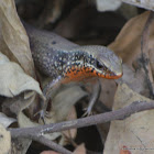 "Keeled Indian Mabuya, Many-keeled Grass Skink,  ""golden skink"""