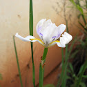 Fortnight Lily or African Iris
