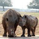 The Wide-Lipped Rhino, a.k.a. The White Rhino