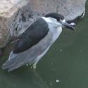 black-crowned -night-heron