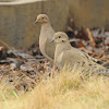 Mourning Doves (pair)
