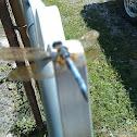 Dragonfly-Male Eastern Pondhawk