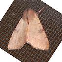 Bent-line Dart Moth