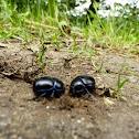 General Dung Beetle