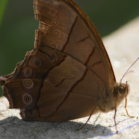 a rare species of butterfly by Raj Tandukar - Animals Insects & Spiders ( butterfly, moth )