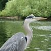 Garza real europea. Grey heron