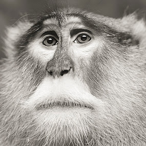 Gorgeous eyes on this guy by Kimberly Arend Porter - Animals Other Mammals ( animals, zoo, monkeys, black and white, wildlife )