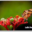 butterfly Dryas iulia