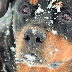 German Rottweiler by Denise Johnson - Animals - Dogs Portraits ( animals, winter, german rottweiler, dogs, cold, pet, snow, pets, dog, animal,  )