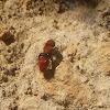 Pacific Red Velvet Ant