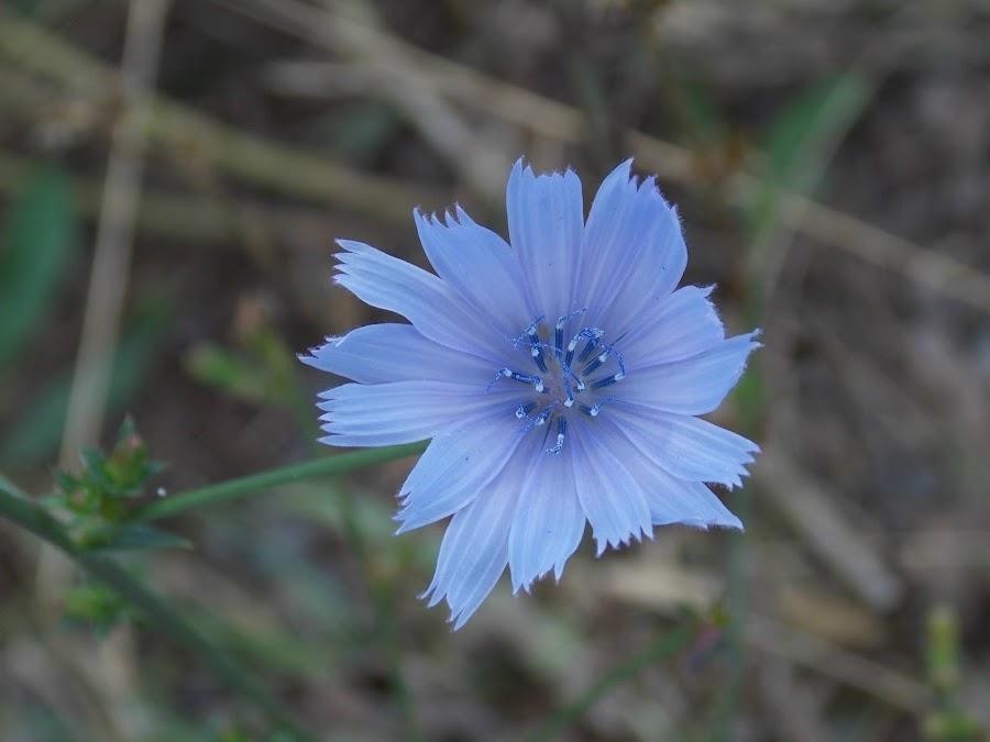 W.V Wild flower by Becky Quarles - Flowers Single Flower