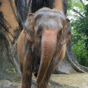 Asian Elephant (female)