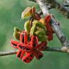 Sterculia fruit