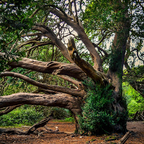 Old tree by Bela Paszti - Nature Up Close Trees & Bushes ( west sussex, tree, kingley vale, green, old tree, forest,  )