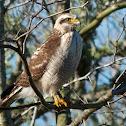 Roadside Hawk (immature)