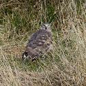 Cinereus Harrier