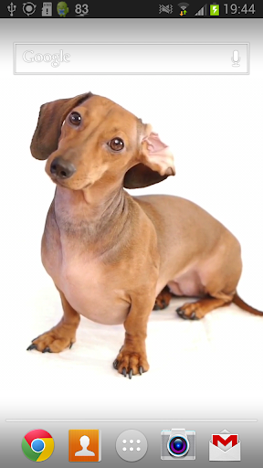 Dachshund Dog Live Wallpaper
