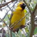 Southern Masked-Weaver / Swartkeelgeelvink