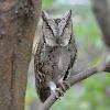 領角鴞  Collard Scops Owl
