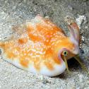 Vomer Conch