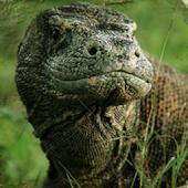 EI: Komodo Island