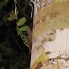 Neotropical Pygmy Squirrel