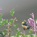 Rusty patch bumble bee on lilac.