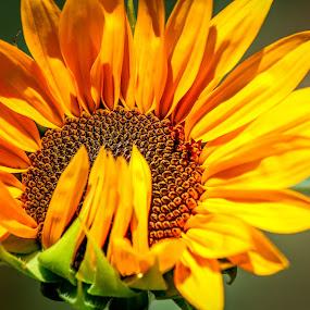 Shy Sunflower by Leah N - Flowers Single Flower