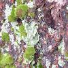 Club lichen