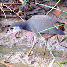 Common white-breasted Waterhen