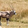 Common Beisa Oryx