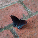 Red-spotted Purple Butterfly