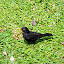 Common Blackbird