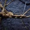Redtail Boa