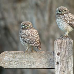 little owls by Adrian Rowley - Animals Birds