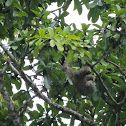 Three-toed Sloth, Drievingerige luiaard