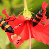 Orange Blister Beetles