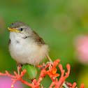 Acacia bird 相思