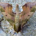 Virginia Creeper Sphinx