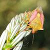 Shield bug, Chinche de las Semillas