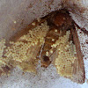 Large Yellow Underwing-eggs