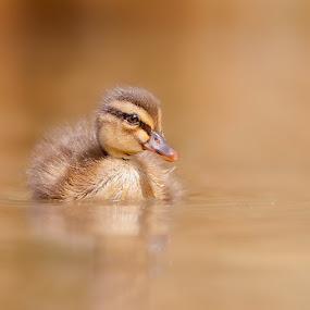 duck by Stefano Ronchi - Animals Other Mammals