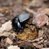 Dung beetle, escarabajo pelotero