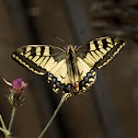 Old World swallowtail (Παπίλιο ο Μαχάων)