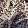 Lagartija oscura, Brown Tree Iguana