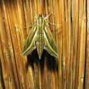 Silver striped Hawk Moth