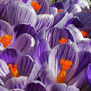 CROCUSES2 mb watercolor.jpg