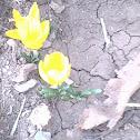 Yellow Meadow Saffron