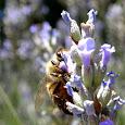 Honeybees of Oregon